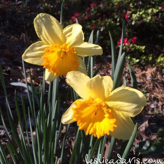 Large Daffodil
